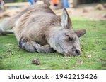 Sleepy Kangaroo Resting On...