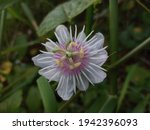 Passiflora Foetida A Creeping...