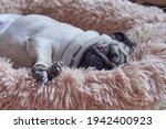 Cute Pug Dog Sleeps Deeply On...