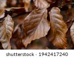 Dry Brown Leaves Of A Beech...