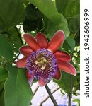 Passion Fruit Flower With...