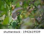 tomatillos ripening on the... | Shutterstock . vector #1942619539