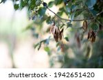 rosewood seed on branches in... | Shutterstock . vector #1942651420