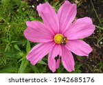 Pink Cosmos Flower And Common...