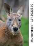 Male Red Kangaroo Portrait Shot