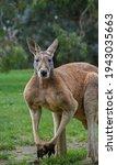 Male Red Kangaroo Posing For...