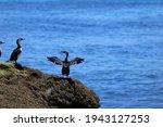 Australian Cormorant ...
