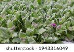 Before Blooming Aubrieta...