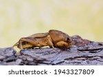 Tawny Mole Cricket ...