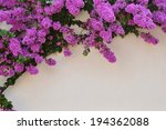 Beautiful Purple Bougainvillea...