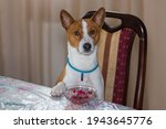 Small photo of Nice portrait of cutet basenji dog sitting on a human chair and put the paw at the dinner table like haughty human does