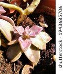 Echeveria Plant Flower Close Up ...