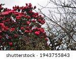 Red Bloomed Rhodonedrun Tree In ...