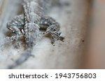 Mediterranean House Gecko ...