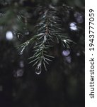 water drop on the spruce branch.... | Shutterstock . vector #1943777059