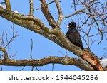 Black Woodpecker Using Its Bill ...