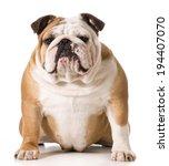 English Bulldog Portrait On...