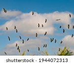 Storks Migration. A Flock Of...