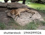 The Lion Family Sleeps Well.