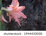 Pink Lily Flower Showing...