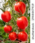 Ripe Red Tomatoes Variety De...