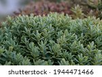 Hebe An Evergreen Plant With...