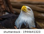 A Mature Bald Eagle Sitting In...