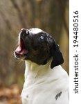 catahoula dog yawns