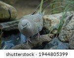 The Eurasian Collared Dove ...