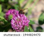 Macro Honeybee Pollinating...