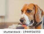 Purebred Beagle Puppy Tore...
