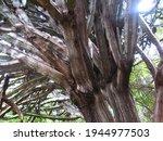 Hardy Cactus Like Euphorbia...
