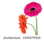 Two Gerbera Daisy Flowers...