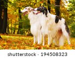 Two Greyhound Dogs Is In Show