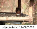 Red Squirrel Eats Birdseed In A ...