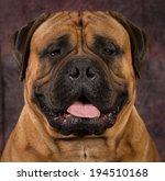 bullmastiff male portrait on... | Shutterstock . vector #194510168