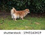 Purebred Tibetan Spaniel Dog...