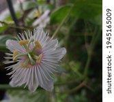 Passiflora Foetida Or Passion...