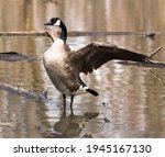 Canadian Goose Spreading Her...