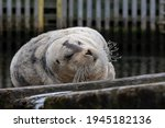 A Large Adult Bearded Seal...