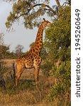 A Bull Giraffe  Giraffa...