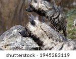 A Couple Of Striped Hyaena ...