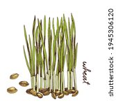 hand drawn wheat microgreens.... | Shutterstock .eps vector #1945306120