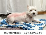Small photo of West highland white terrier after trimming. Trimmed westie. White dog. Incorrect trimming. Bad trimming. Skin irritation after trimming.