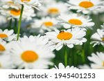 Field Daisies. Many Summer...
