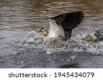 Egyptian Goose Or Also Called...