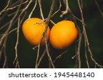 Tangerine Garden With Dry...