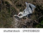 The Grey Heron  Ardea Cinerea   ...