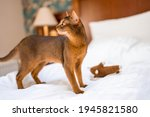 Cute Abyssinian Purebred Cat...