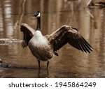 Candian goose at the pond